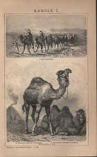 Litografía 1902: camellos. I. II. dromedario trampeltier lama alpaca guanaco vicuna