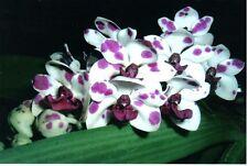 Orchid species Seedling garden plant - Rhynchostylis gigantea 'Panda'