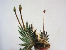 Partridge Breasted Aloe - Aloe variegata - Fresh Seed