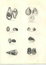 1854 Engravings Ordinary Cone Cryptosome Cornucopia Fossil