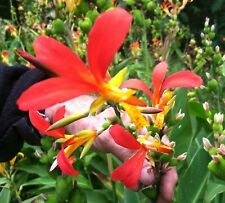Canna indica red and gold indian shot Canna patens plant