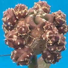 797. Astrophytum myriostigma 'Purple' / cactus  ariocarpus aztekium discocactus