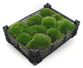 Kugelmoos kaufen echtes natur Moos Dekomoos Kiste Deko Mooskugeln Moss basteln