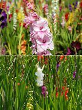 winterharte Gladiolen Blumen schnellwüchsige exotische Pflanzen für den Garten
