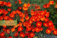 "Eschscholzia californica ""red chief"" (20 Seeds/graines)"