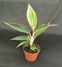"Aglaonema 'Siam Aurora' Chinese Evergreen, Colorful Low Light Plant in 3"" Pot."