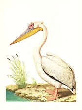 "1977 VINTAGE LAROUSSE ""WHITE PELICAN"" STUNNING GORGEOUS COLOR Art Lithograph"