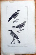 La Pie-Grieche Grise/Rousse, L'Ecorcheur - 1830s French Bird Print
