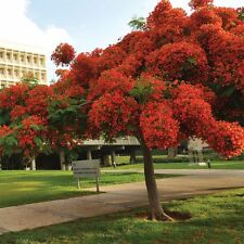 ROYAL RED POINCIANA SEEDS, BULK BUY 100 + SEEDS,  EASY TO GROW TOUGH SHADE TREE