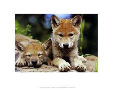 ART WOLFE Spring Wolf Pups poster stampa d'arte immagine 28x36cm-SPEDIZIONE GRATUITA