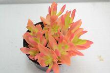 Pianta di RED SPART Succulente Piante grasse succulenti vaso 10 grassa