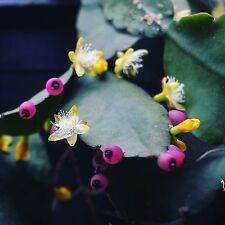 Rhipsalis russellii - epiphyte cacti -  - 20 fresh seeds