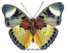Butterfly - 1 x mounted male Euphaedra piriformis (Good A1-)