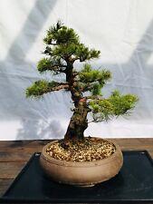 """Bonsai """"Pinus Parviflora"""" Japanische Mädchenkiefer 48 cm"""