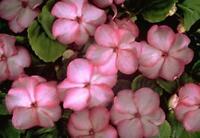 Impatiens Swirl Series Pink Seed