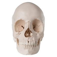 3B Scientific Beauchene Adult Human Skull Model -Bone Colored A290 Model Anatomy
