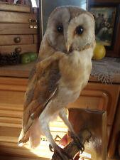 OWL Tyto Alba Bird Taxidermy with certificate