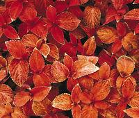 COLEUS WIZARD SUNSET Solenostemon Scutellarioides - 40 Bulk Seeds