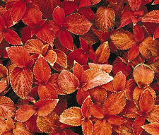 COLEUS WIZARD SUNSET Solenostemon Scutellarioides - 40 Bulk Seeds