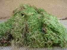 Large Green Sheet Moss for terrariums and orbs