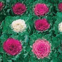 Ornamental Cabbage (Brassica Oleracea)- 50 Seeds