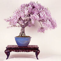 10Pcs Purple Wisteria Flower Mini Tree Seeds Bonsai Indoor Ornamental Plant Pop