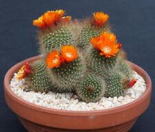 Parodia microsperma notocactus exotic flowering cacti rare cactus seed 100 SEEDS