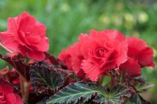 Tuberous Begonia NonStop Mocca Scarlet Seed Bronze Foliage NEW RELEASE
