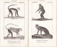 1816 -Two Antique Engravings - Monkeys - Chimpanzee, Guenons - Pierre Turpin