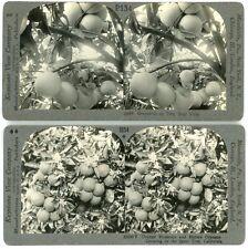 4 Keystone Stereoviews of Citrus Fruit on The Trees