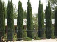 150+ FRESH Italian Cypress / Cupressus Sempervirens seeds - STRICTA variety