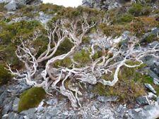 10 x Eucalyptus Alpina graines. Grampians GUM SEEDS