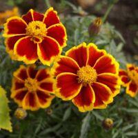 Marigold Red Marietta  - Tagetes patula nana - 350 seeds