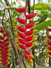 2x Heliconia Rostrata Rhizomes, Hanging Lobster Claw, Free Ship w/ Free Offer!