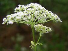 conium maculatum seeds, 1 gram of seeds