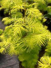 Metasequoia glyptostroboides Goldrush gelber Mammutbaum, 180-200cm