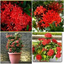"""2 DWARF IXORA RED WELL ROOTED LIVE STARTER PLANT 3"""" TO 6"""" TALL"""