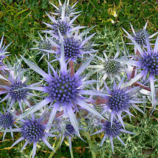 Sea Holly Deep Blue Seeds Annual Cut Flower Bluish Stems - Eryngium planum