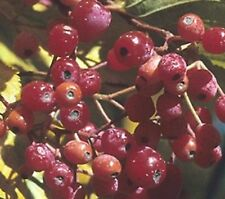 Korean Mountain ash Rowan Tree seedling edible berry fruit  birds LIVE PLANT