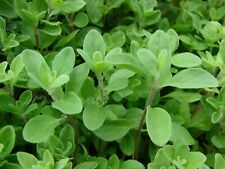 Marjoram Sweet - 1,000 Seeds - Heirloom, Herbs Vegetable Garden Seeds Fast ship