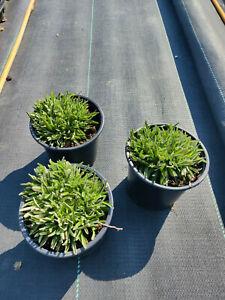 Edelweiß im großen 13cm Topf; 3 Pflanzen ! Leontopodium