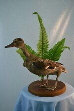 Stuffed European duck Taxidermy Standing Mount