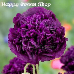 POPPY DOUBLE VIOLET BLUSH - Papaver somniferu - 500 seeds - ANNUAL FLOWER