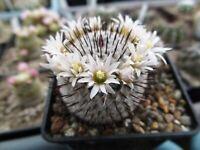 H.  10 FRESH SEEDS Mammillaria perezdelarosae subs. andersoniana