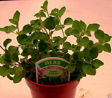 Greek Oregano. Fragrant Culinary Hardy Aromatic Herb Plant Origanum vulgare ssp.