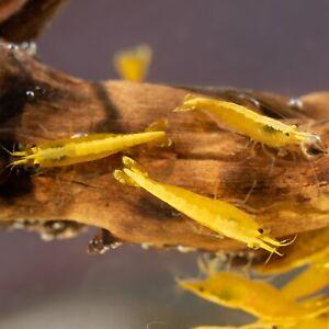10 (+1 DOA) Neon Yellow Goldback Shrimp Imported From Thailand