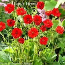 MRS J BRADSHAW BRILLIANT SCARLET - Geum Chiloense hybridum - 300 seeds - FLOWER