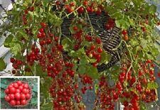 3 Honig-Tomaten schnellwüchsige immergrüne Obst Gemüse Pflanzen für den Garten