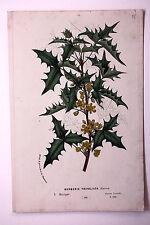 Genuine antique flower print DESERT BARBERRY 'BERBERIS TRIFOLIATA' c.1860