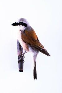Taxidermy Red-backed shrike Bird Stuffed mount animal Lanius collurio